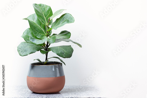 Fotografia, Obraz Fiddle leaf fig on granite