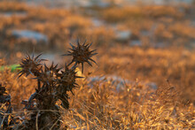 Dry Thistle In The Setting Sun