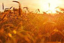 Golden Wheat Field In Sunset 2...