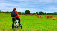 Woman Bicyling Looking At Cows...