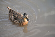 Gray Ducks Swim On The Lake Du...