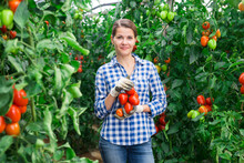 Portrait Of Young Female Gardener Engaged In Harvesting In Greenhouse Showing Freshly Picked Plum Tomatoes On Vines