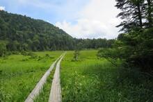 尾瀬の木道、深い緑へ...