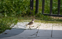 A Small Sparrow Stands On A Paving Stone Path