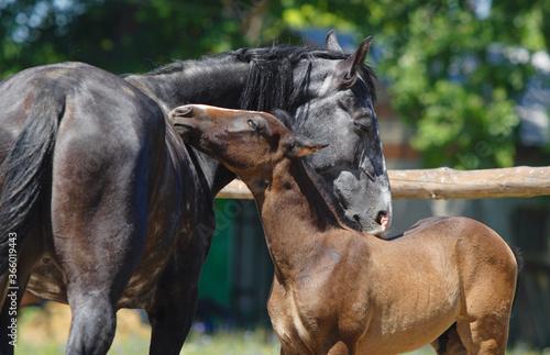 Obraz na plátně Mother horse with foal on the summer stud farm