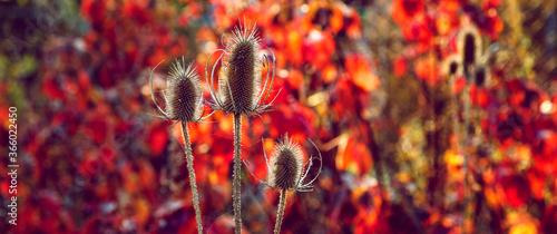 Fotografering A brown dry thistles and bright red background. Autumn sunset.