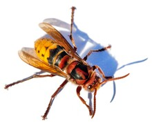European Hornet In Latin Vespa...