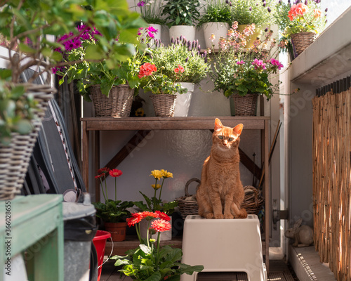 Leinwand Poster Red / ginger cat sits on a small stool on the balcony in front of a plant pot ta
