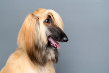 Portrait Of Rough Collie In St...