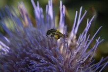 Closeup Shot Of An Artichoke Flower With Bee Wasp Insect On It