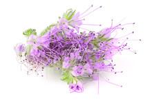 Phacelia Flower Isolated On Wh...