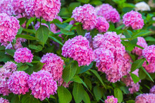 Delightful Bushes With Pink H...