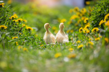 Two Yellow Ducklings On A Back...