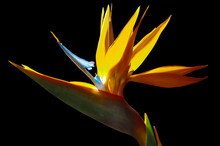 Strelezia,Bird Of Paradise Flower