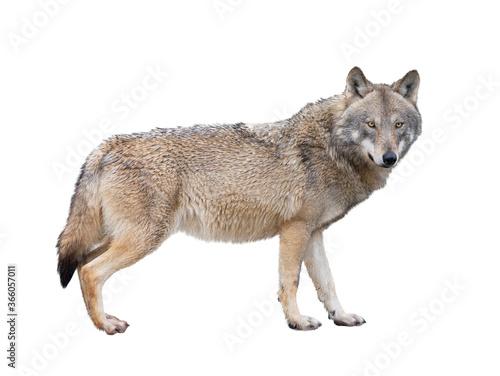 Valokuvatapetti She-wolf isolated on white background.