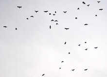 Numerous Crows Fly During Dusk...