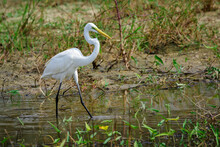 Image Of Great Egret(Ardea Alba) On The Natural Background.Large Egret Or Great White Heron, White Birds, Animal.
