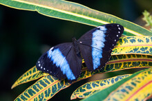 Blue Morpho Butterfly Sitting ...