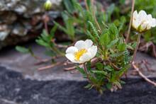 White Poppy Flower (Anemone Coronaria)