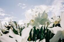 Field Of White Daffodils Narci...
