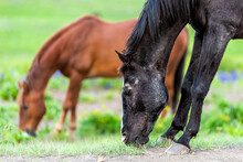 Black And Brown Horses Grazing...