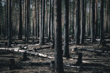 Burned Forest After Fire. Char...