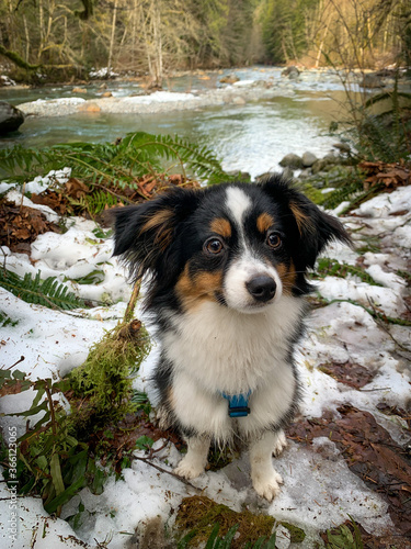 Fotografia, Obraz Toy Australian Shepherd, Toy Aussie hiking in the snow