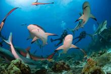 Scuba Divers Swimming With A Big School Of Caribbean Reef Shark (Carcharhinus Perezi) In The Caribbean Sea, Bay Islands (Islas De La Bahia)