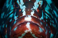 Low Light Close Up Photo Of Nassau Grouper (Epinephelus Striatus), Cordelia Bank, Roatan, Bay Islands (Islas De La Bahia)