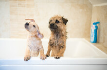 Golden Labrador Puppy In The Bath With A Border Terrier
