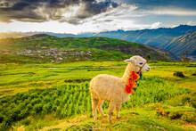 Llama, Moray, Peru