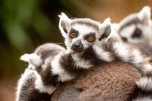 Ring-tailed Lemurs In Captivity