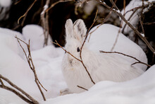 White Snowshoe Hare Sitting In...