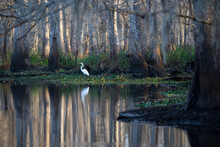 Great Egret In The Manchac Swa...