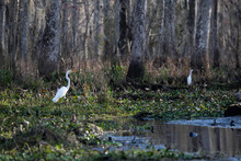 Great Egret In The Manchac Swamp Near New Orleans