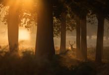 A Red Deer Stag (Cervus Elaphu...