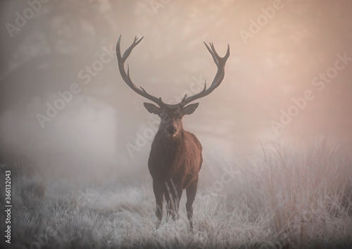 A large red deer stag (Cervus elaphus) stands his ground in foggy Richmond Park one winter morning, Richmond, Greater London