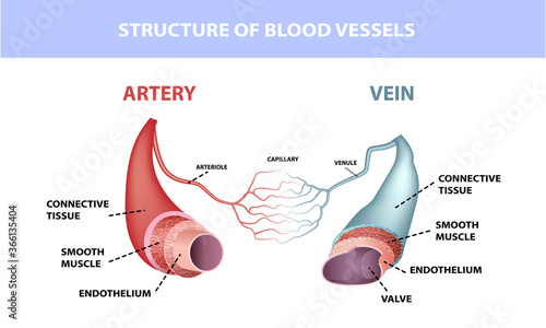 Healthy artery and vein anatomy, layers of arteries and veins, medical illustrat Canvas Print