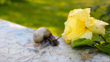 Large Snail And Yellow Rose Af...