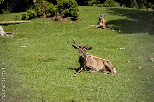 old Deer lies on grass on a sunny day.