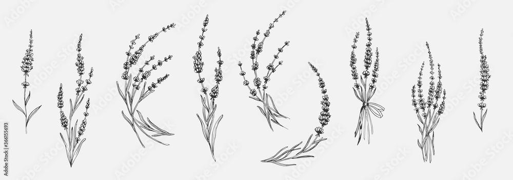 Fototapeta Set of floral elements for design - lavender, lavandula branch. Sketch element for labels, packaging and cards design.