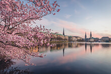 Germany, Hamburg, Pink Cherry ...