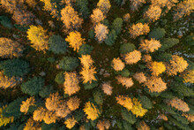 Drone View Of Larch Forest In ...