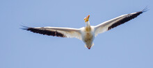 American White Pelican Flying Directly Overhead