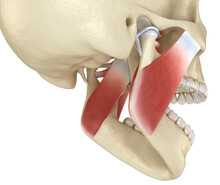 TMJ: The Temporomandibular Joi...