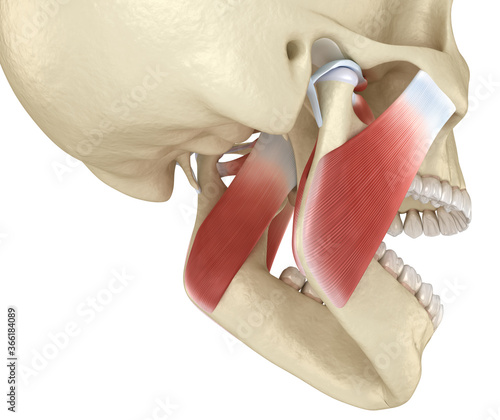 TMJ: The temporomandibular joints and muscles Wallpaper Mural