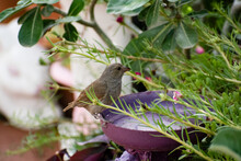 Small Brown And Olive Colored Barbados Bullfinch Or Loxigilla Barbadensis Bird Perched On Edge Of Purple Ornament Outdoors With Blurred Nature And Green Leaves.
