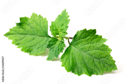 Fototapeta fresh Patchouli (Pogostemon cablin) leaves isolated on the white background obraz