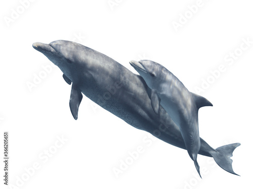 Obraz na plátně Mother and baby smimming bottlenose dolphins  isolated on the white background,