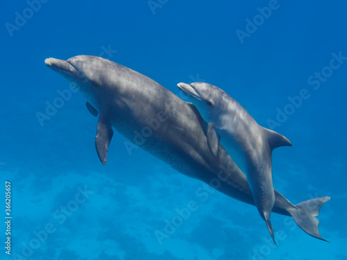 Carta da parati Two cute dolphins smimming in the blue ocean over the coral reef, selective focu